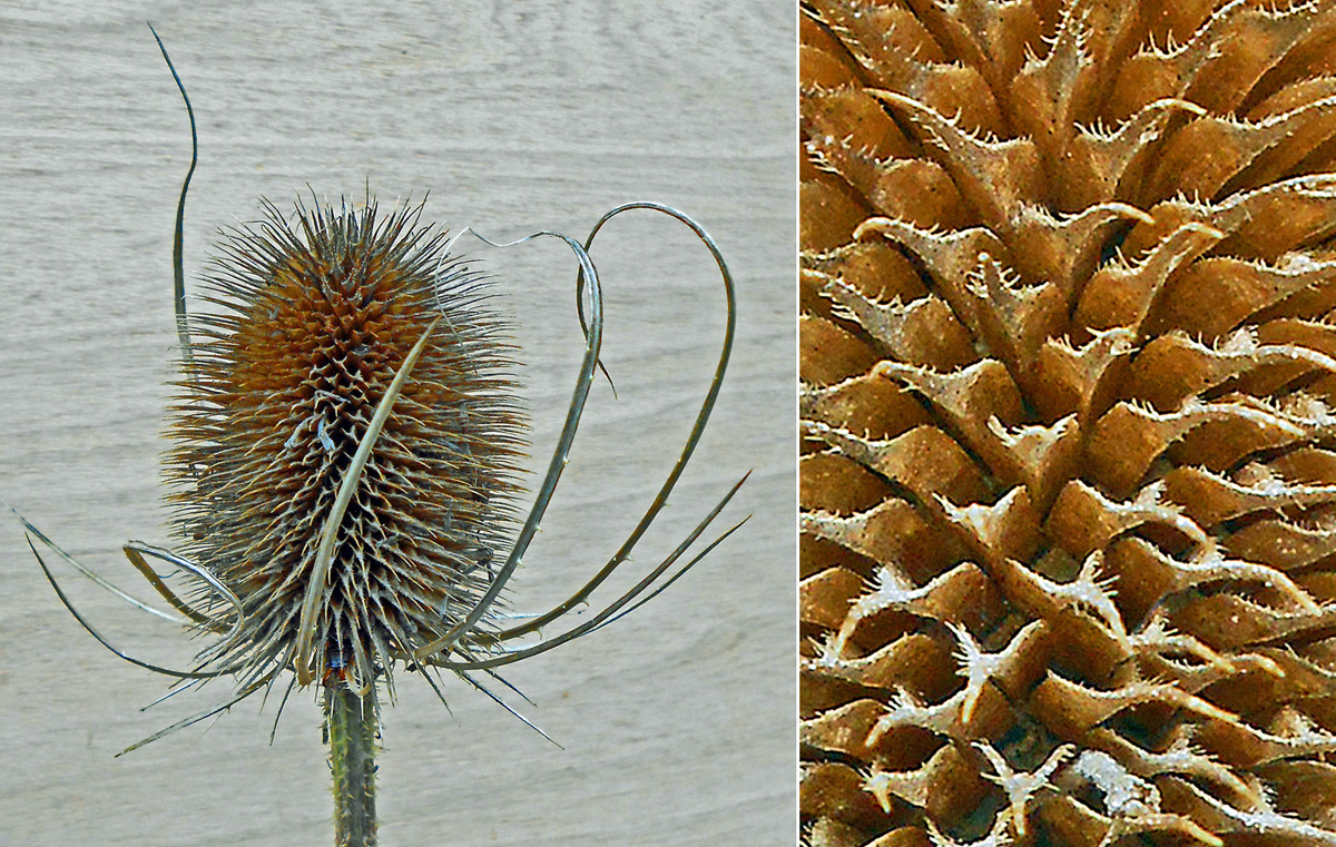 Teasel close-up